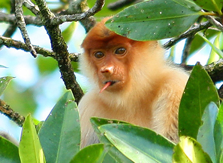 Weston Proboscis Monkey, Sunset & Fireflies Cruise